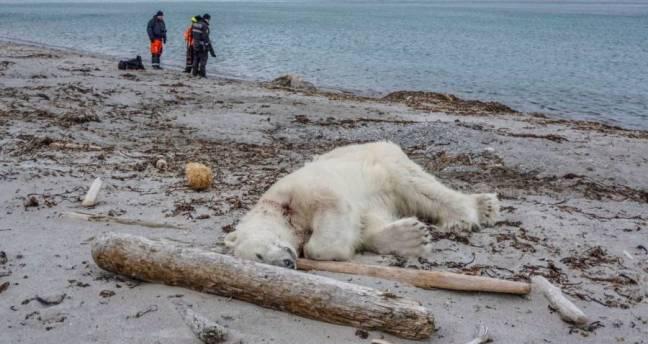 polar-bear-dead